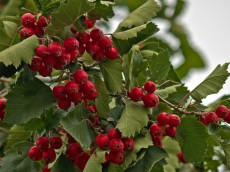 Distention Pain - Hawthorn Berries